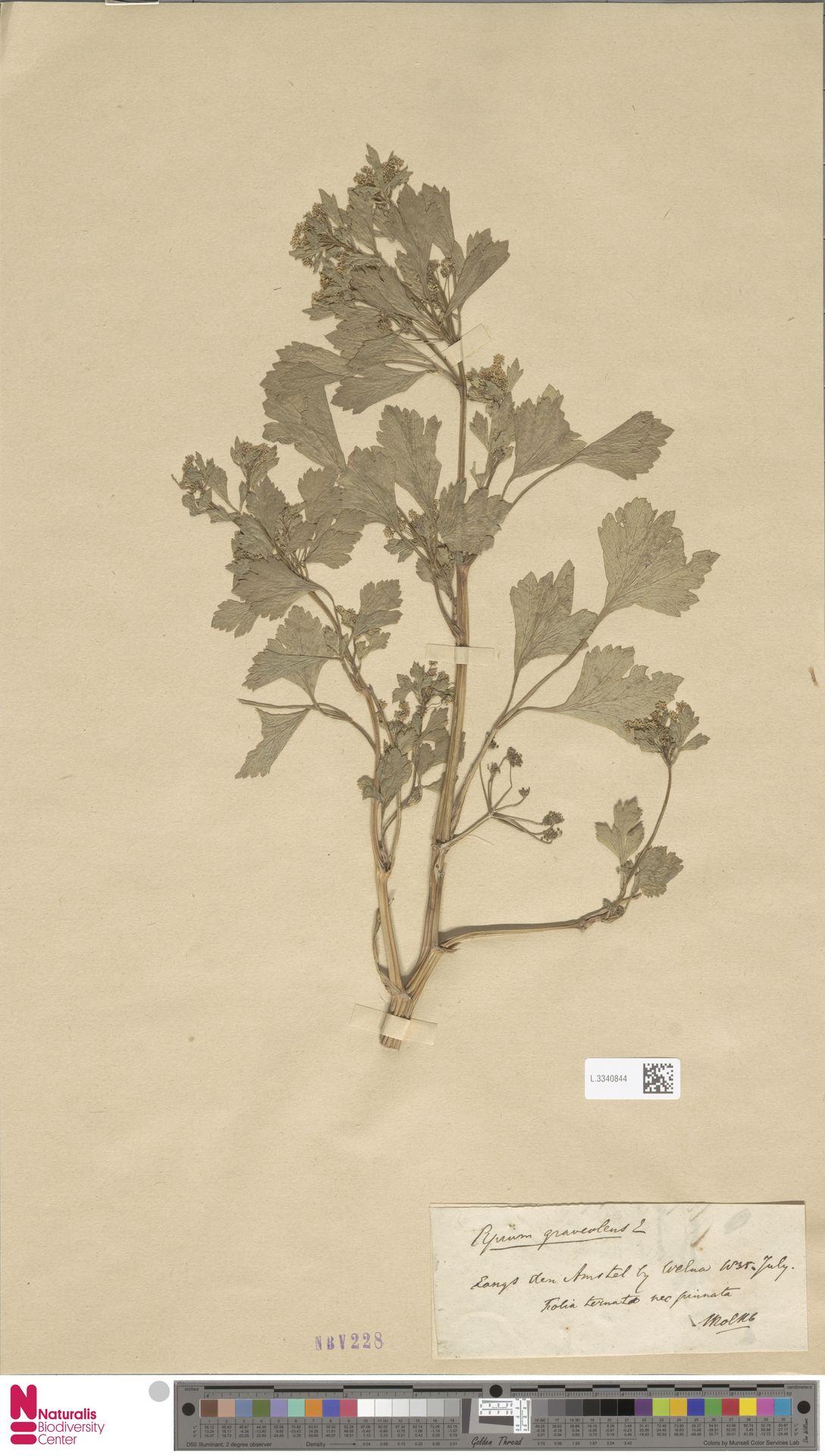 L.3340844 | Apium graveolens L.