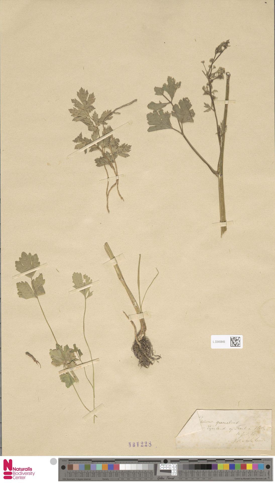 L.3340845 | Apium graveolens L.
