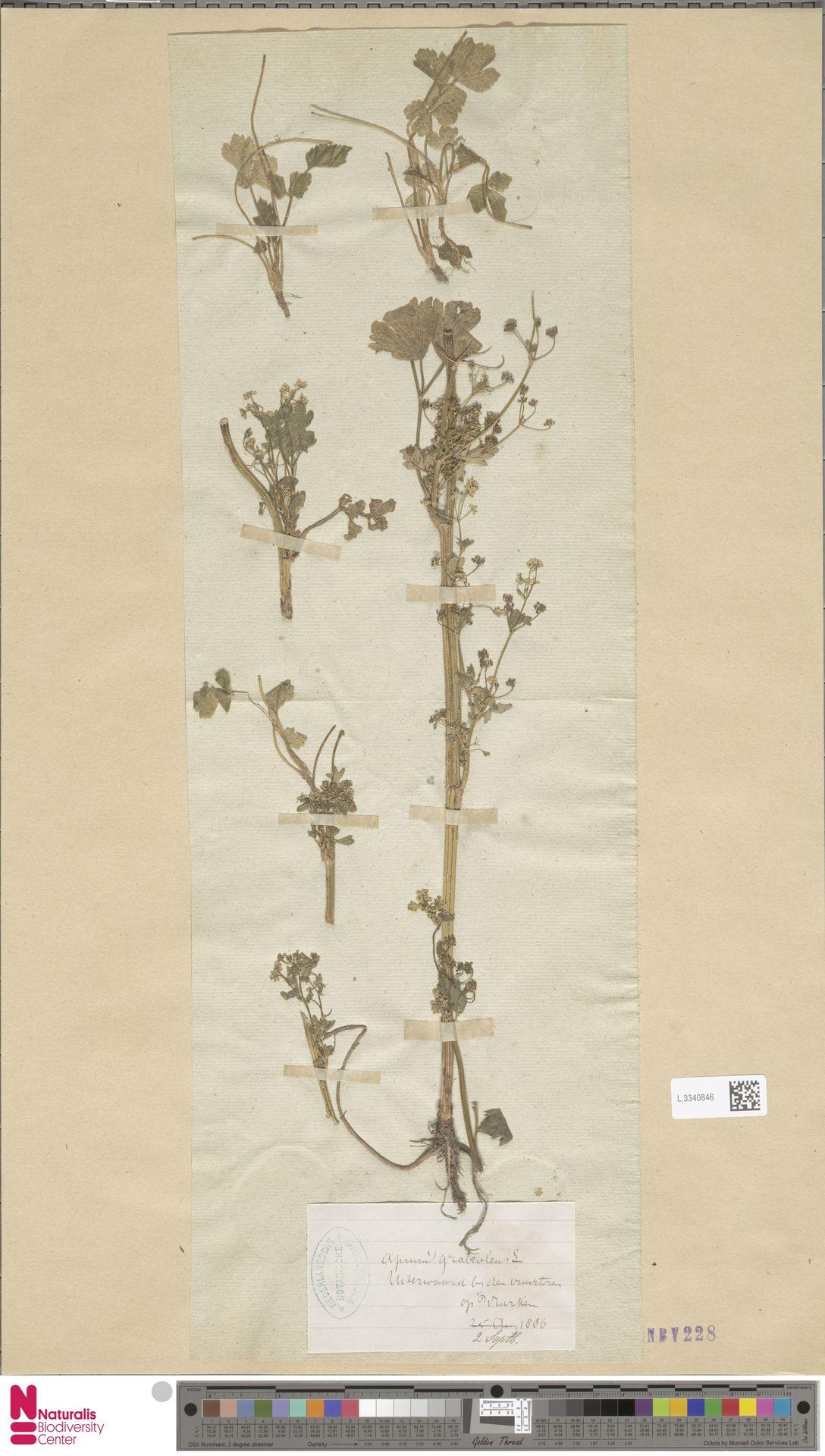 L.3340846 | Apium graveolens L.