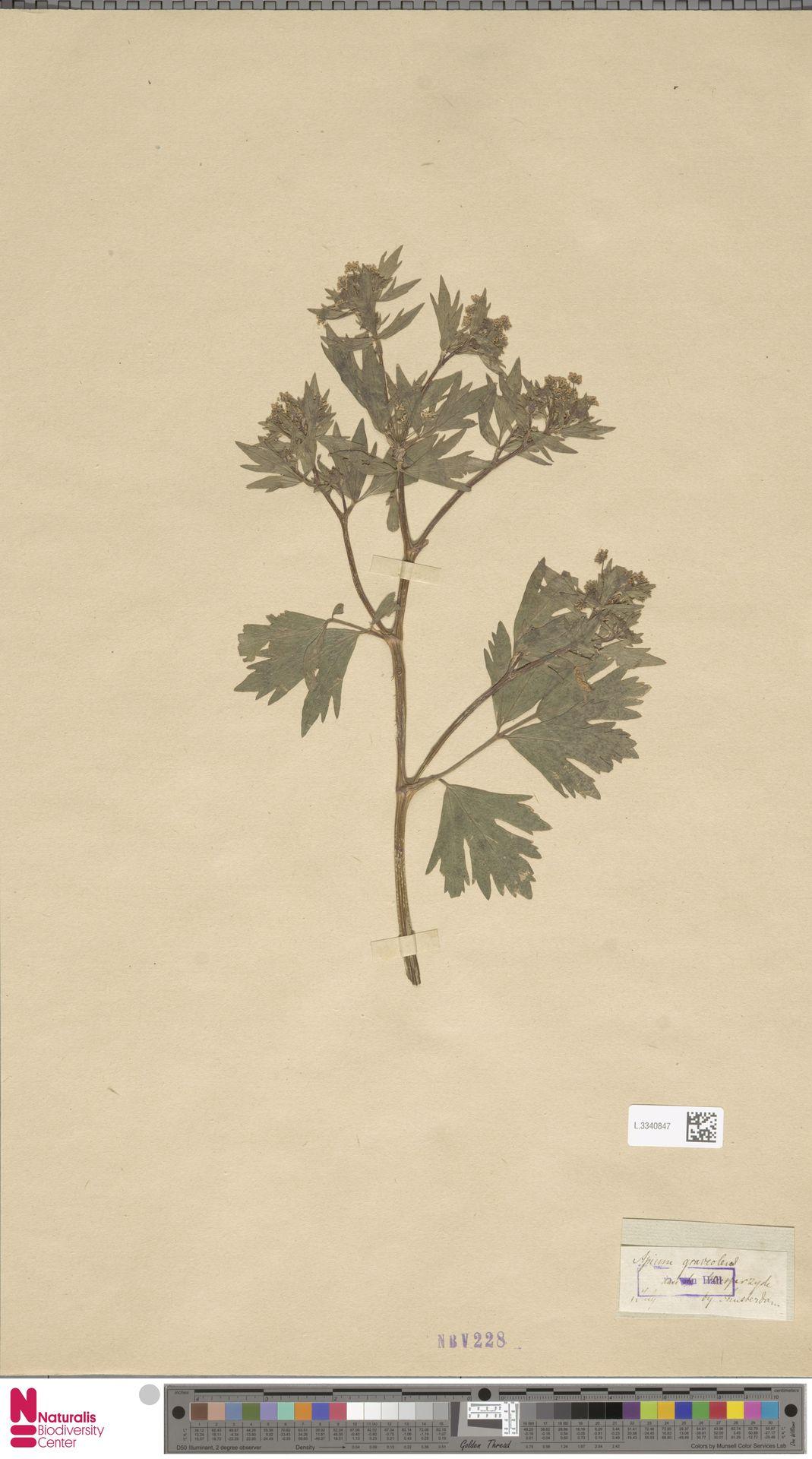 L.3340847 | Apium graveolens L.