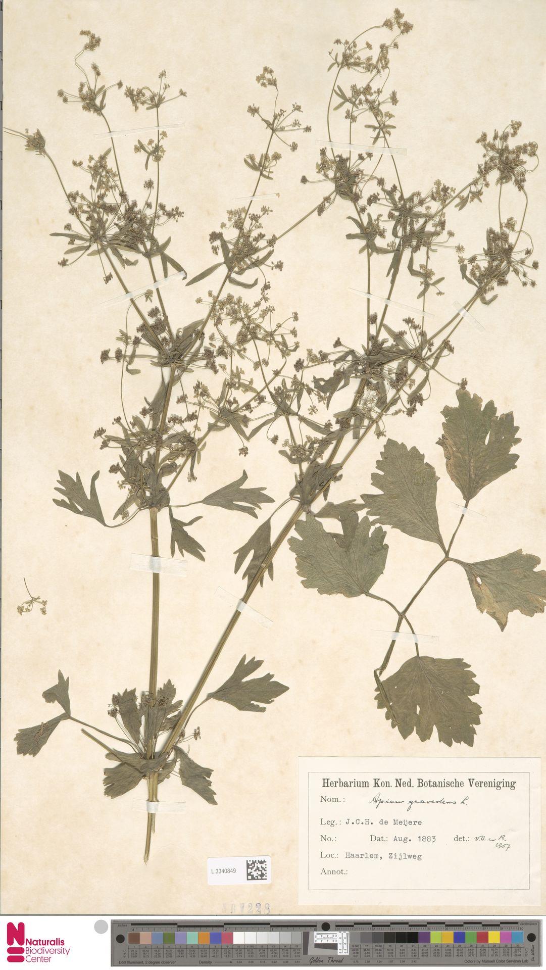 L.3340849 | Apium graveolens L.