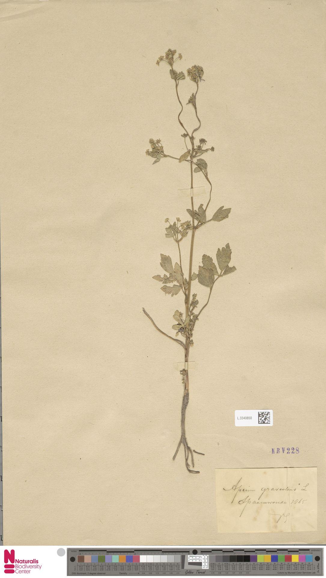 L.3340850 | Apium graveolens L.