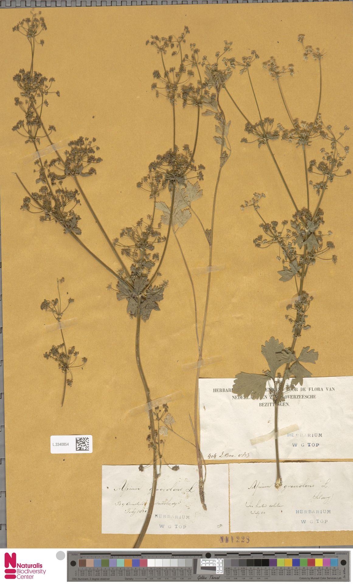 L.3340854 | Apium graveolens L.