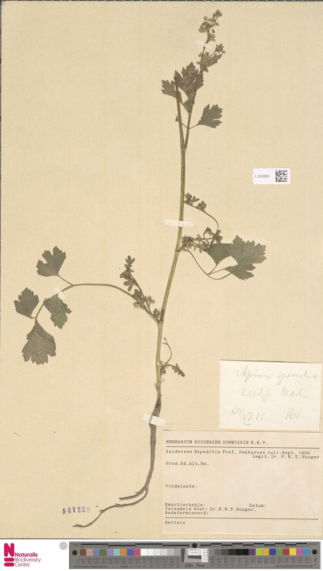 L.3340856 | Apium graveolens L.