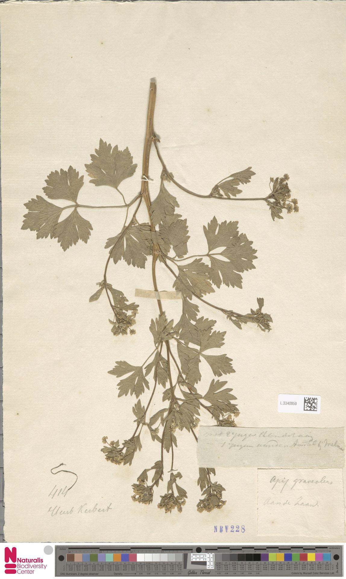 L.3340859 | Apium graveolens L.