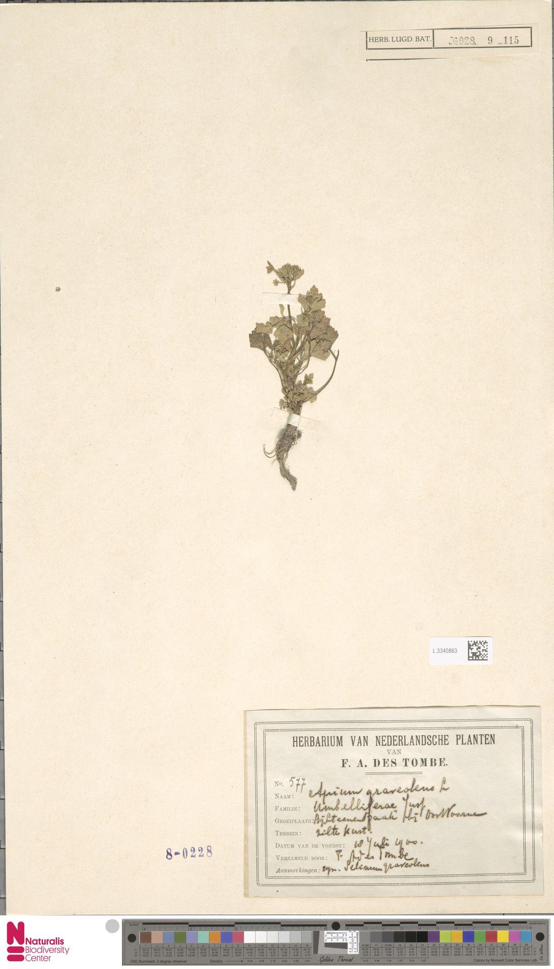 L.3340863 | Apium graveolens L.