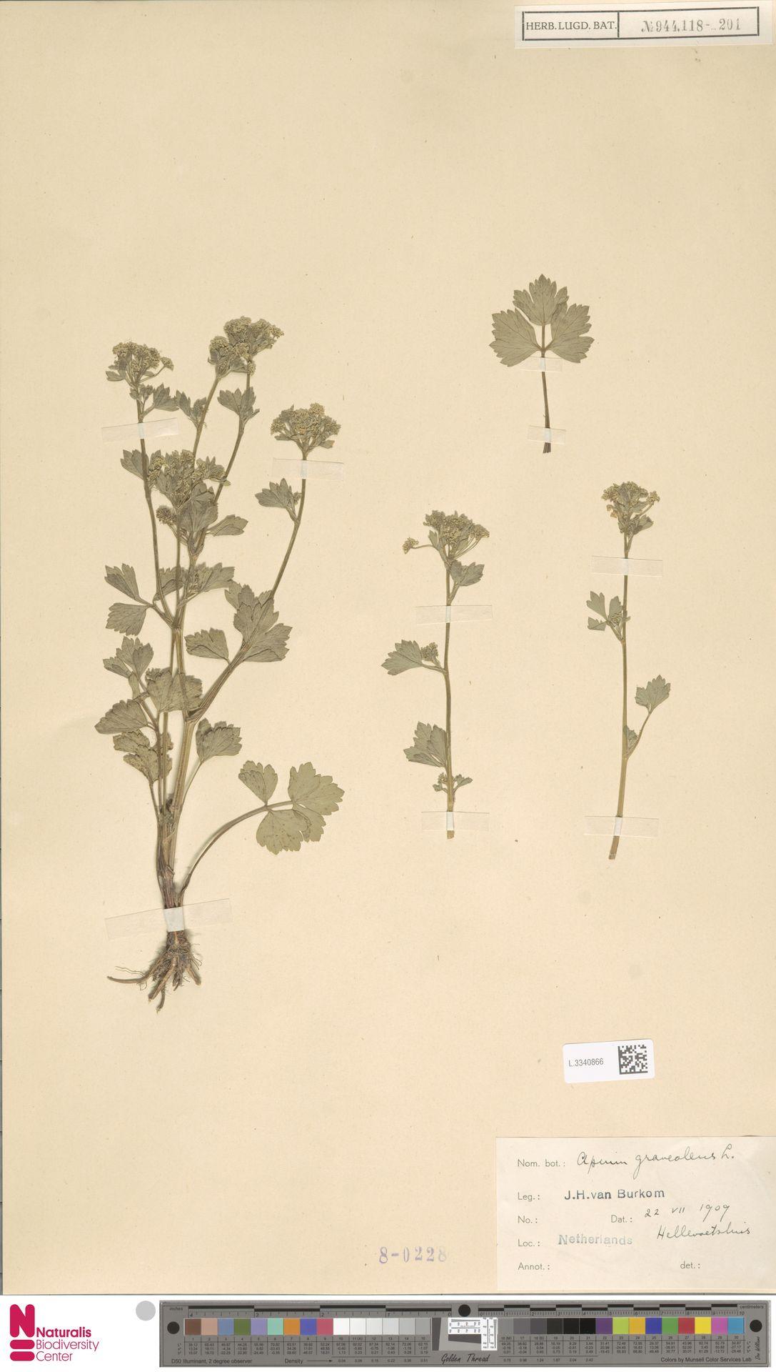 L.3340866 | Apium graveolens L.