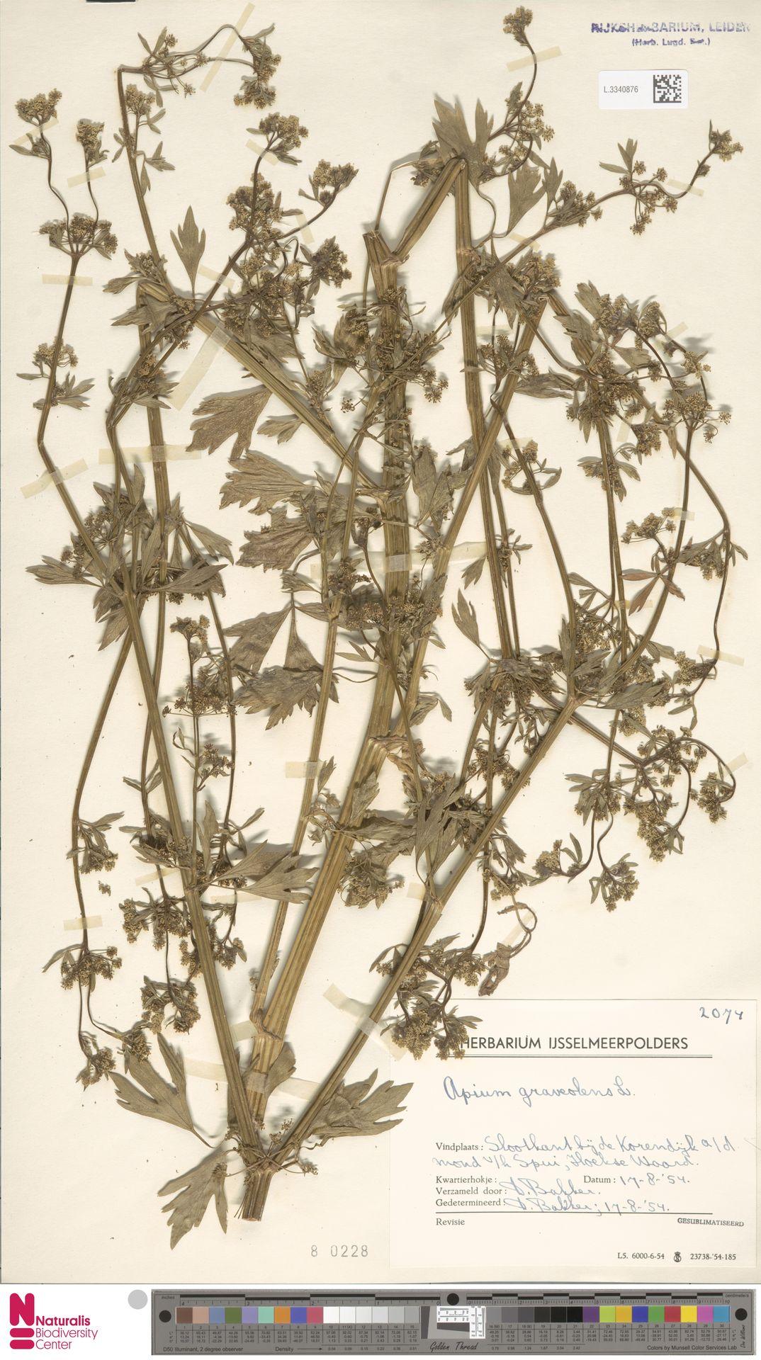 L.3340876 | Apium graveolens L.
