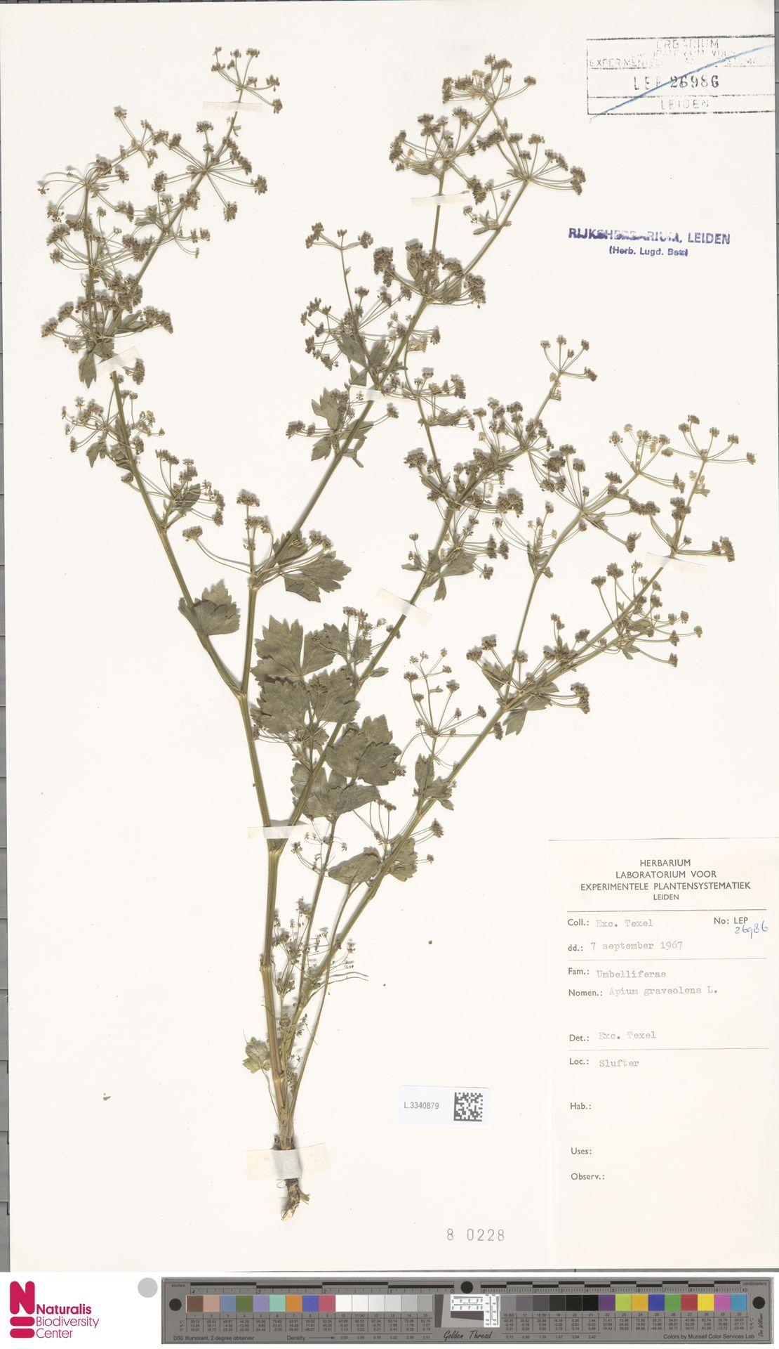 L.3340879 | Apium graveolens L.
