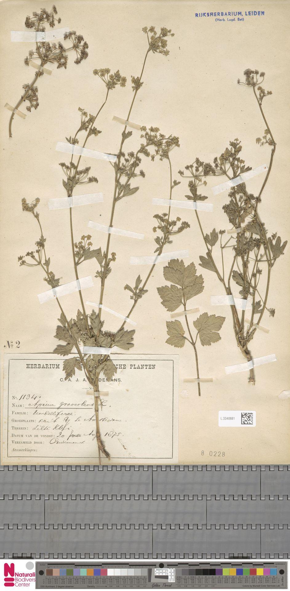 L.3340881 | Apium graveolens L.