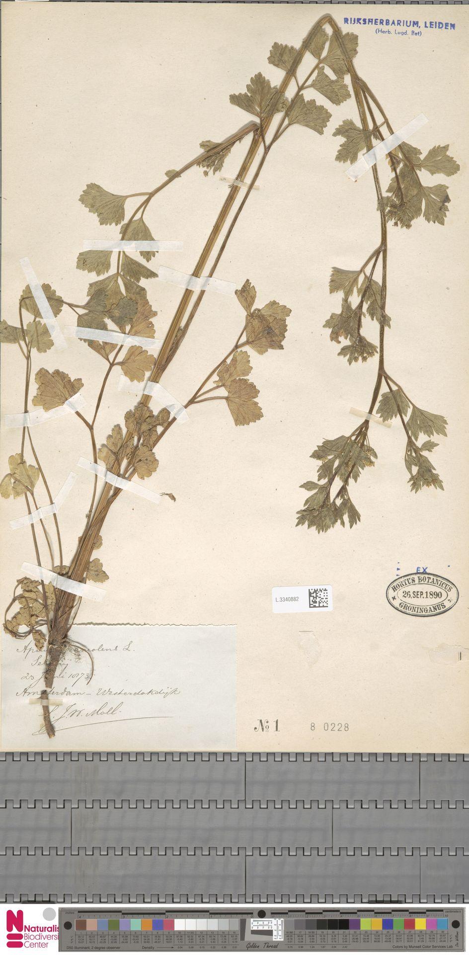 L.3340882   Apium graveolens L.