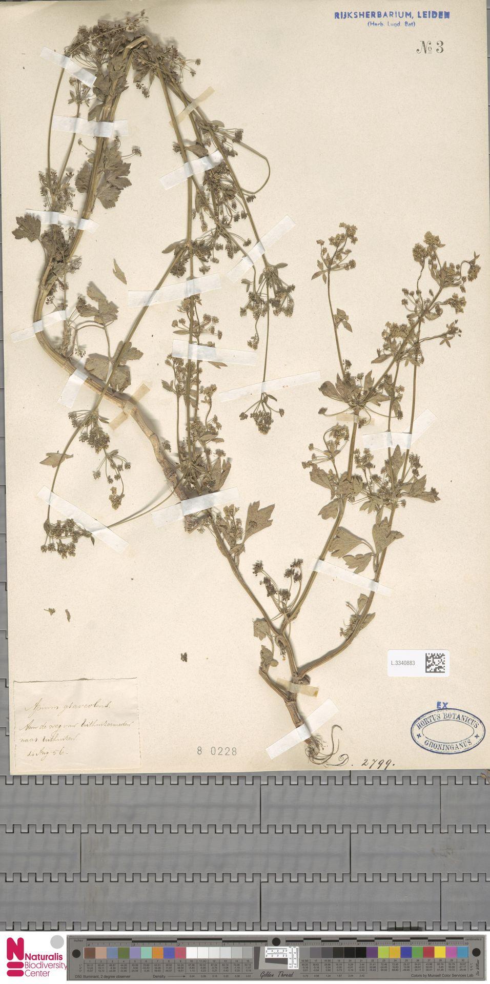 L.3340883 | Apium graveolens L.