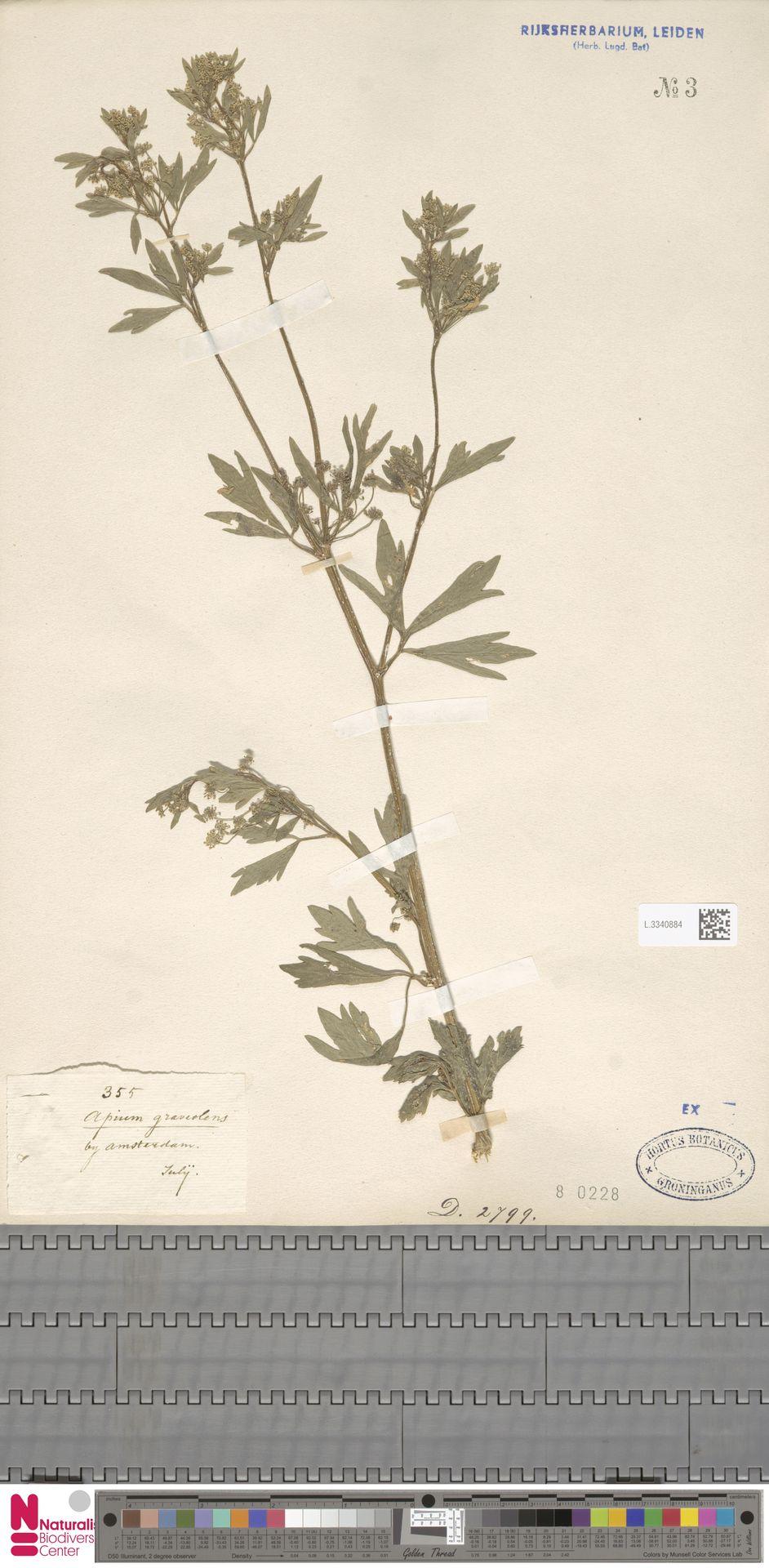 L.3340884 | Apium graveolens L.
