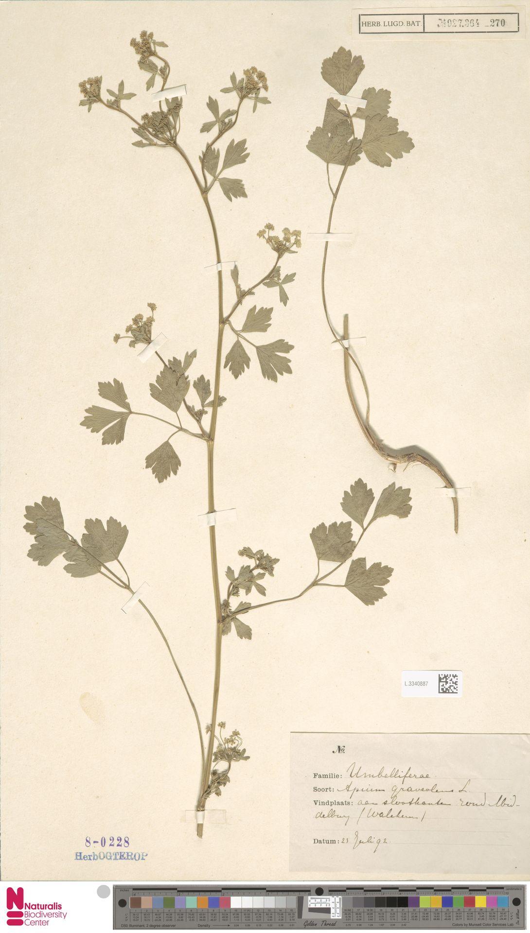 L.3340887 | Apium graveolens L.