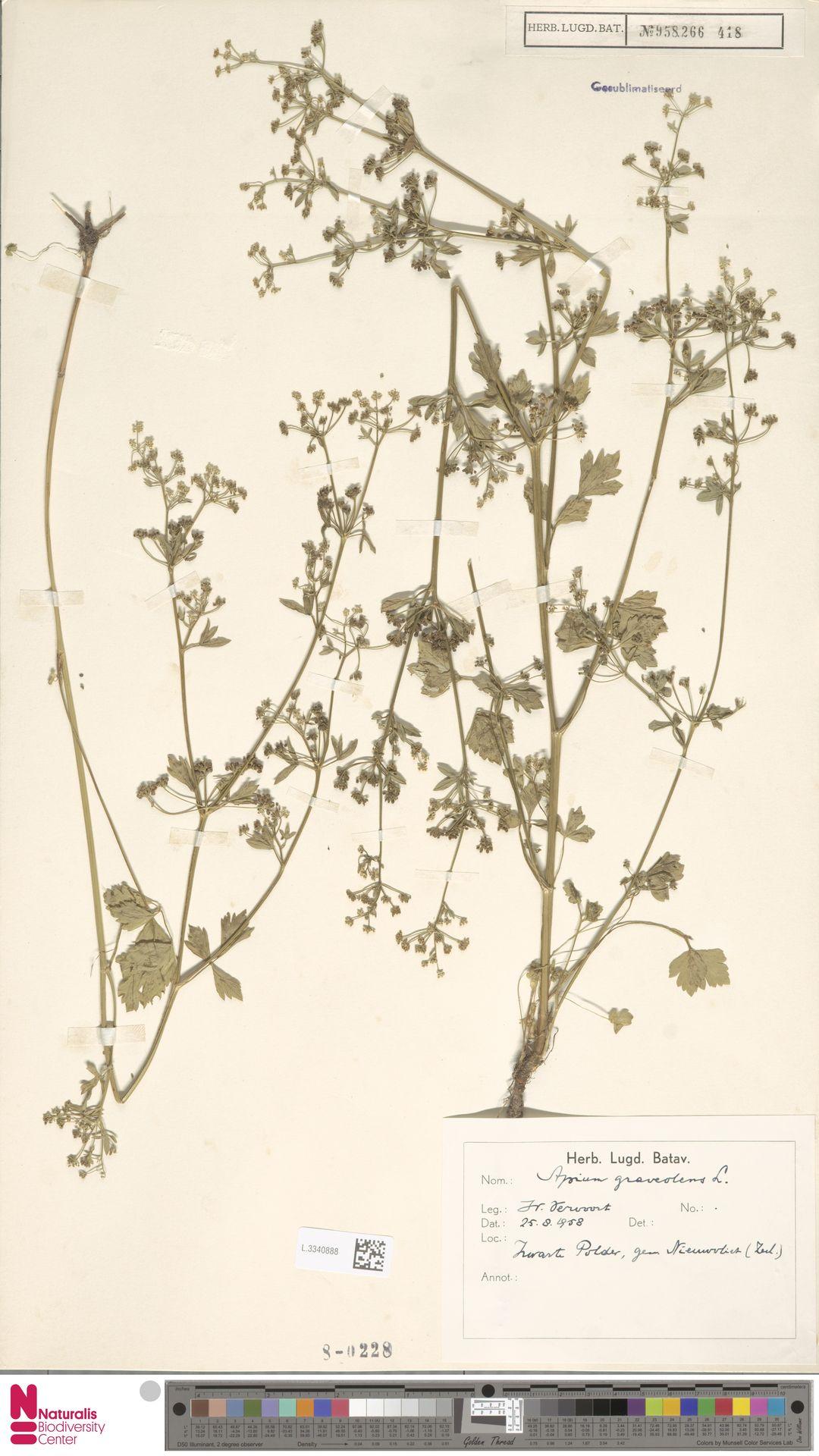 L.3340888 | Apium graveolens L.