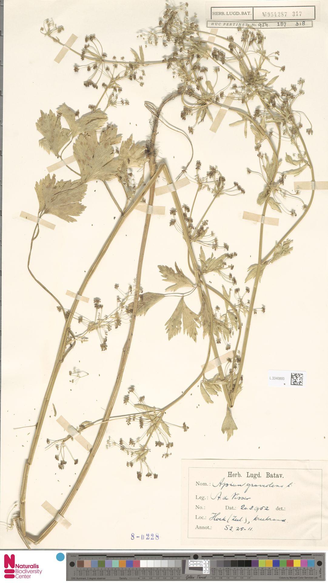L.3340893 | Apium graveolens L.