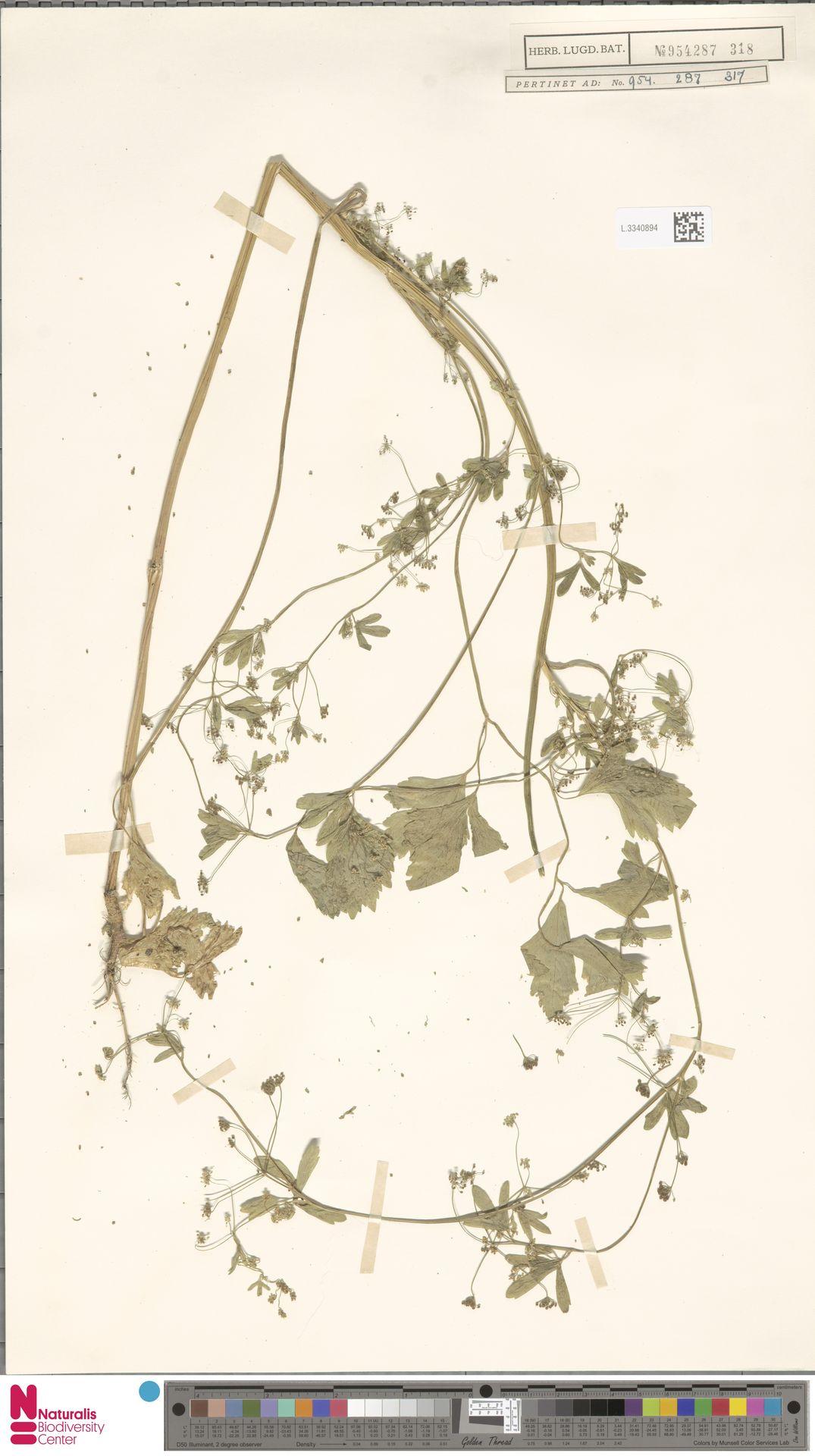 L.3340894 | Apium graveolens L.