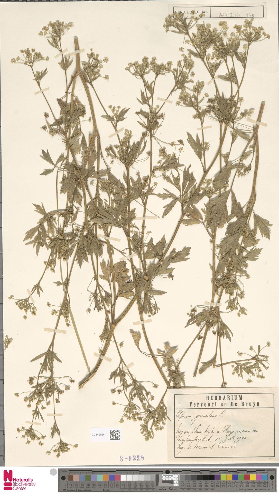 L.3340895 | Apium graveolens L.