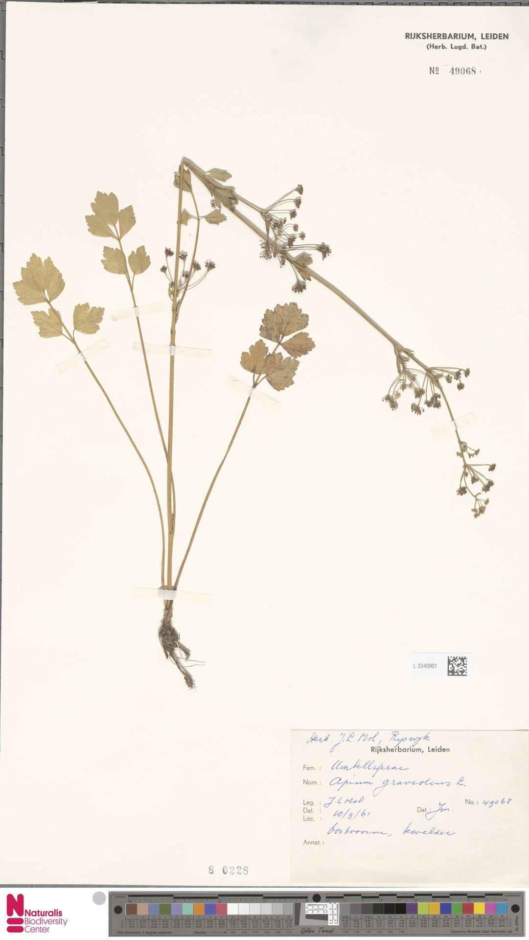 L.3340901   Apium graveolens L.