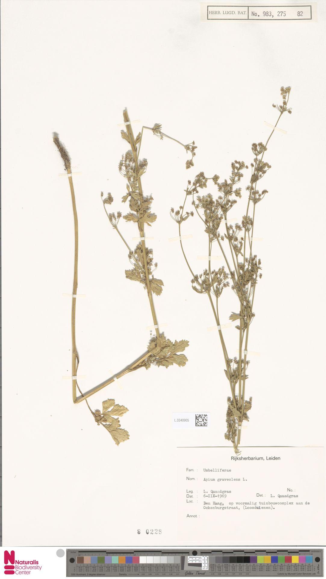 L.3340905   Apium graveolens L.