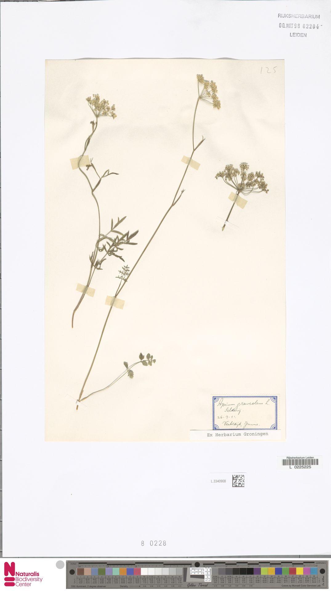 L.3340908 | Apium graveolens L.