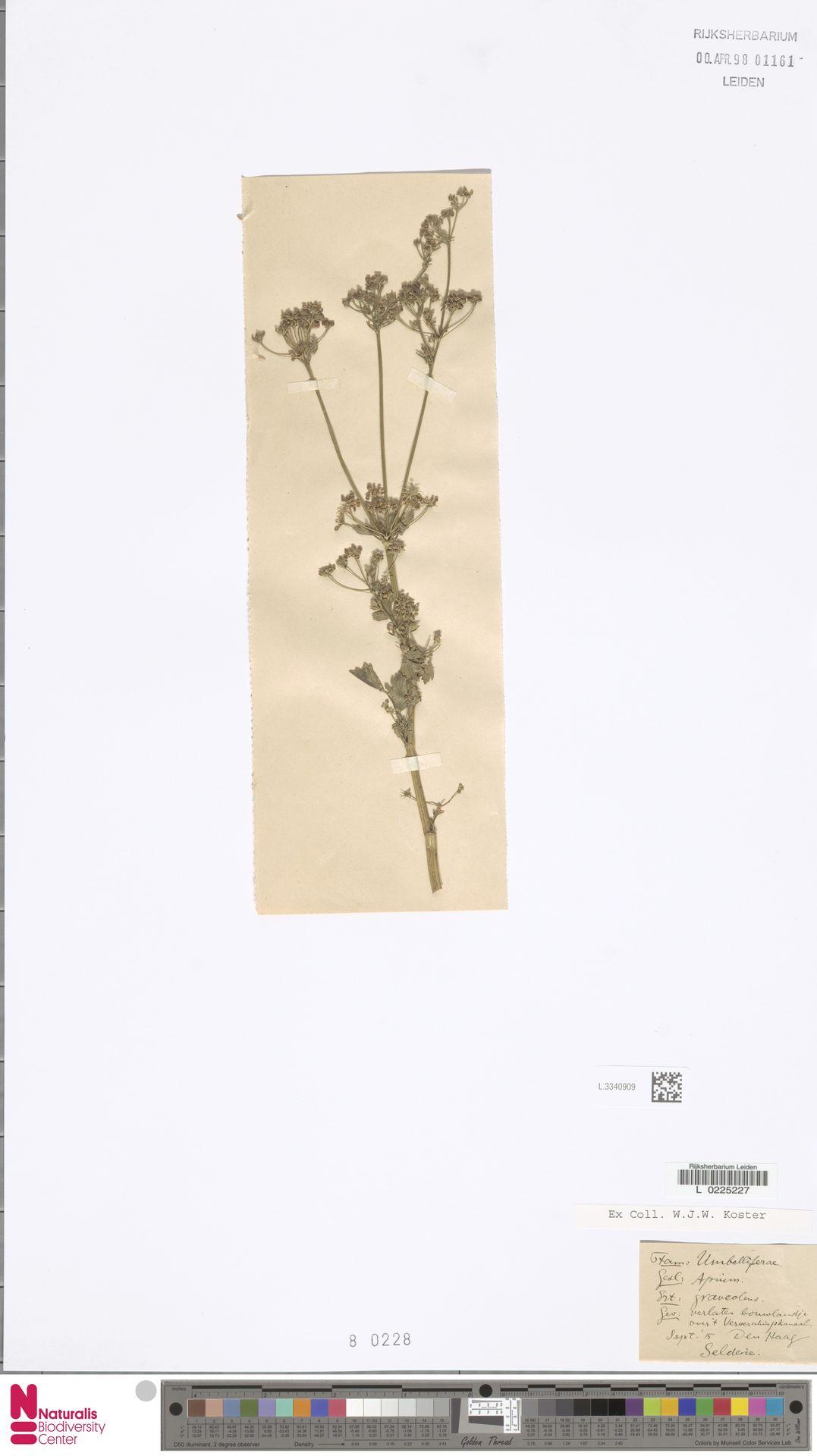L.3340909   Apium graveolens L.