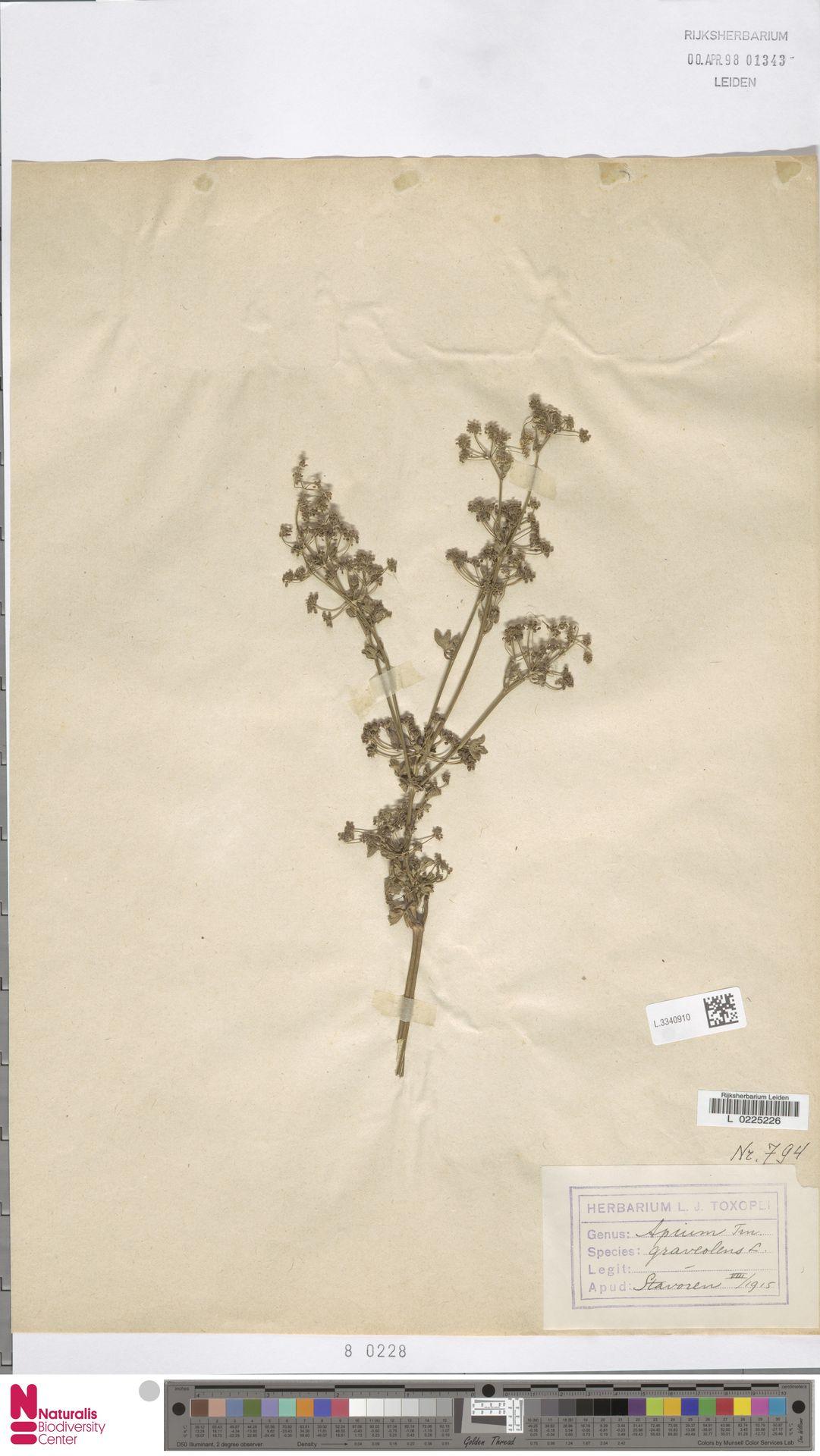L.3340910 | Apium graveolens L.
