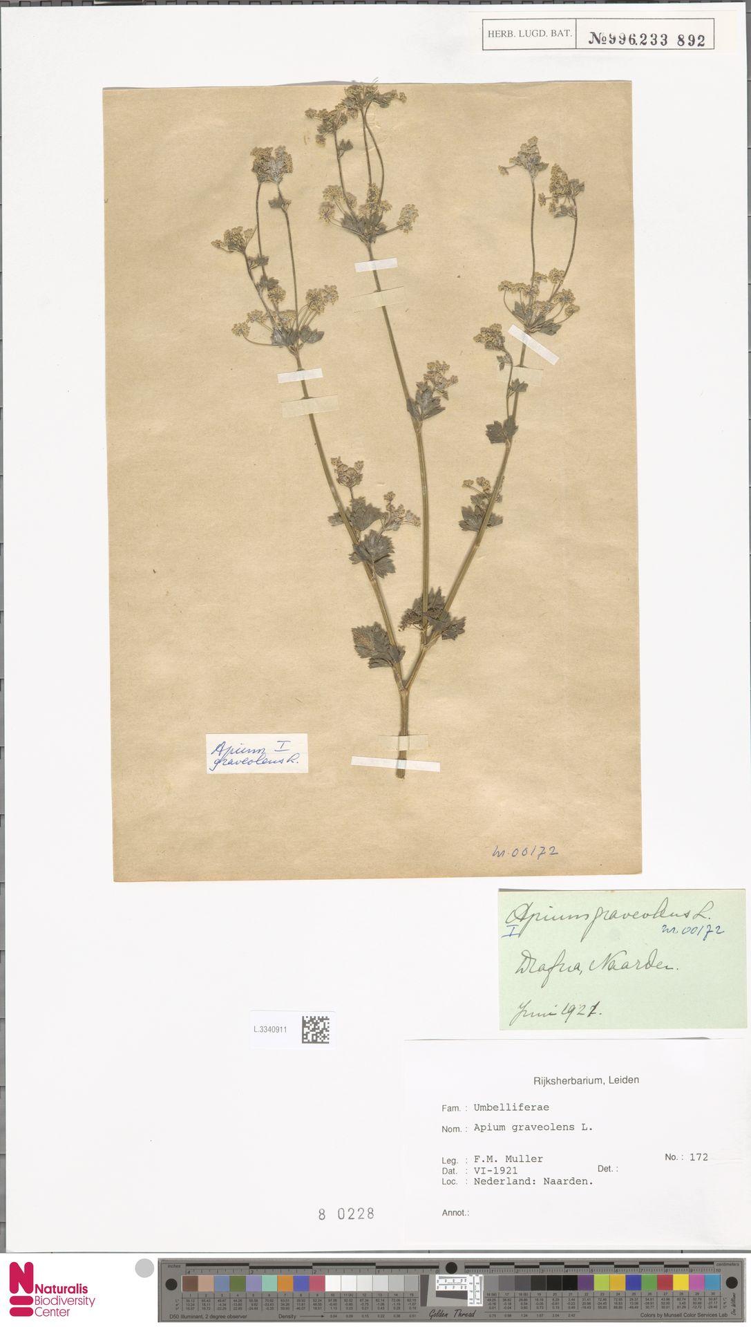 L.3340911 | Apium graveolens L.