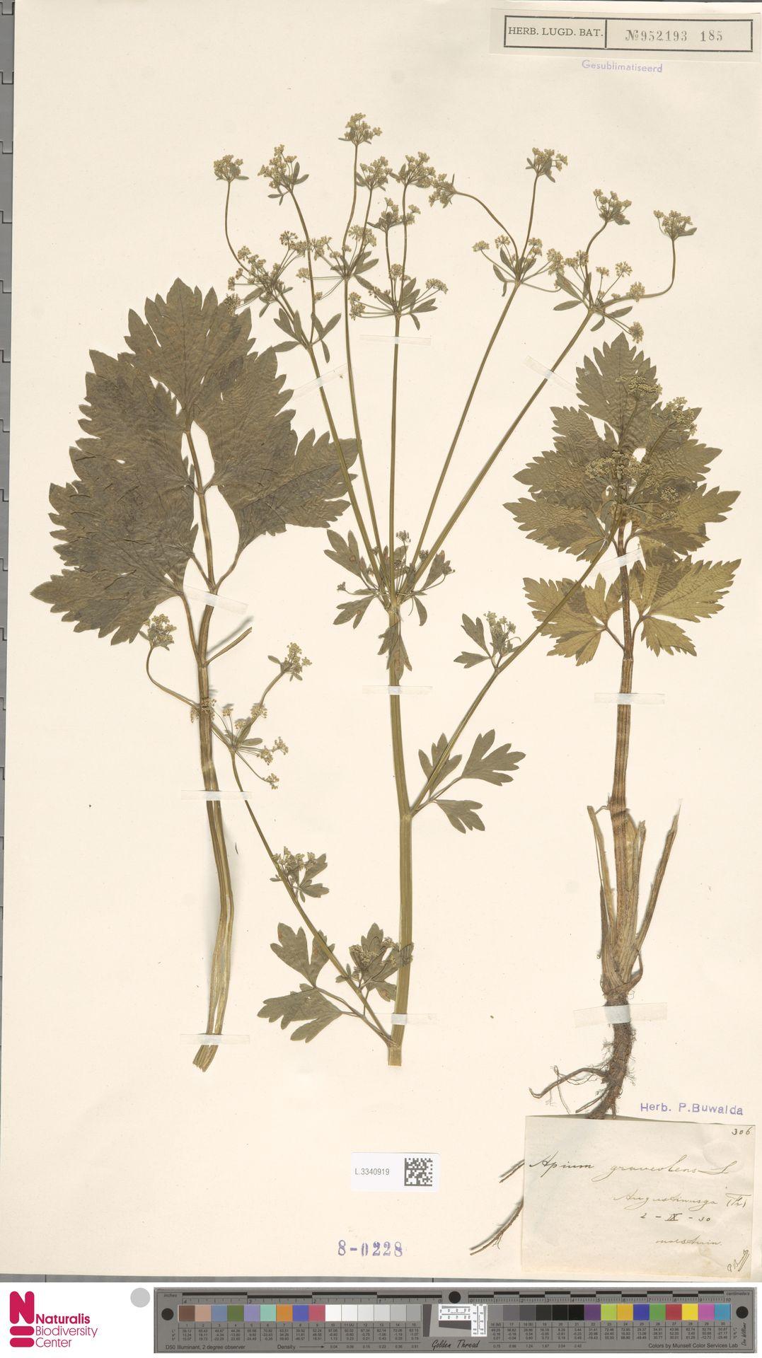 L.3340919 | Apium graveolens L.