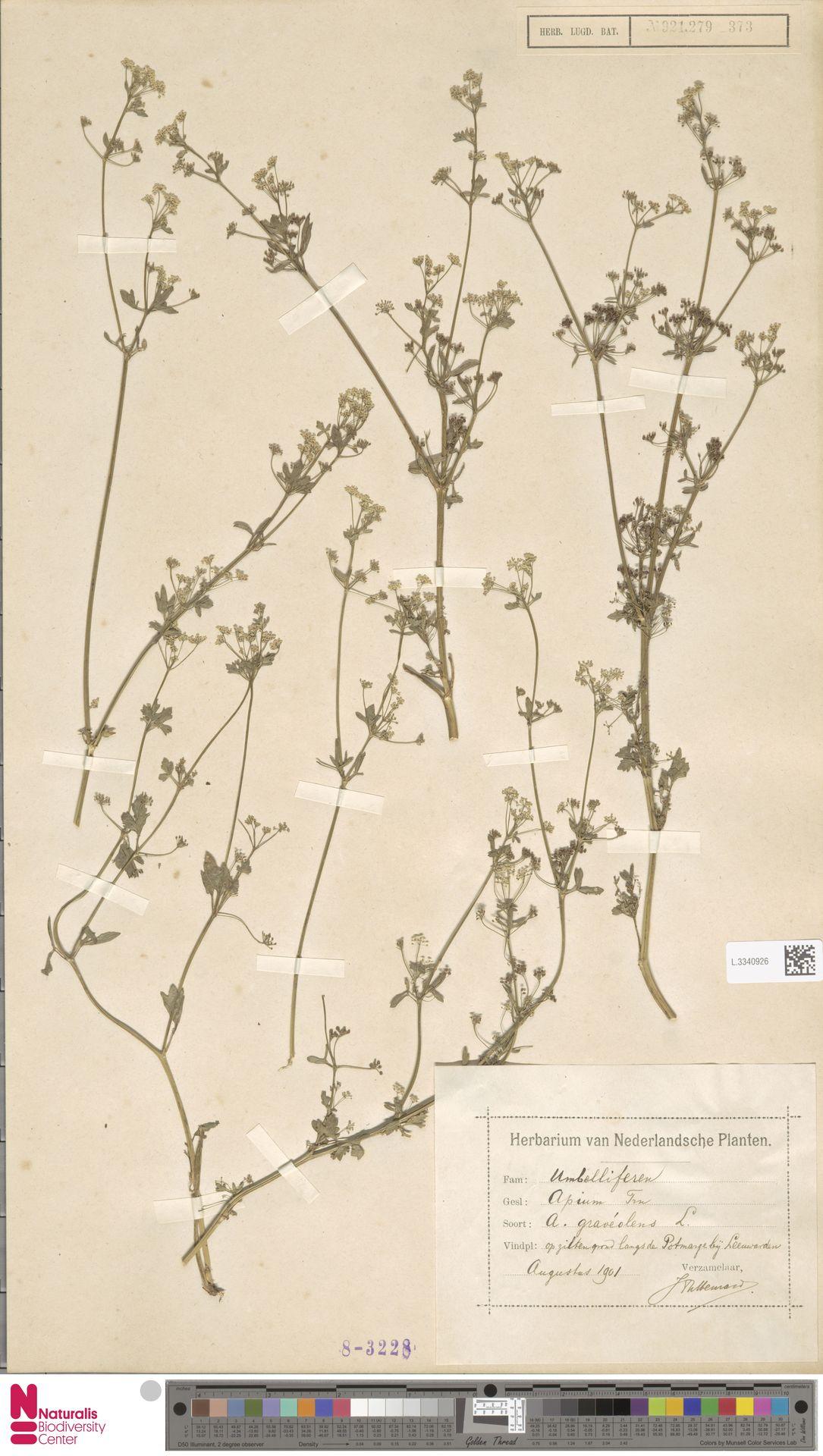 L.3340926 | Apium graveolens L.