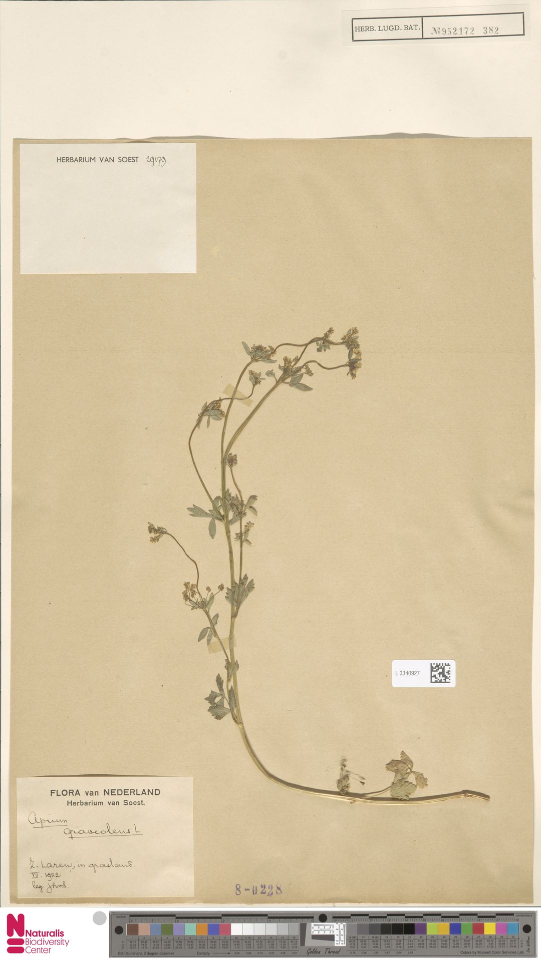 L.3340927 | Apium graveolens L.