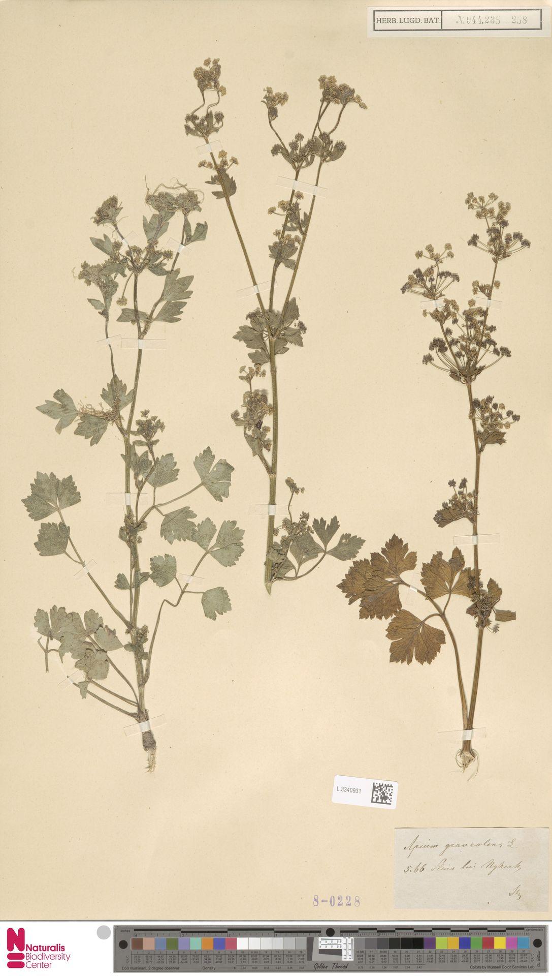 L.3340931 | Apium graveolens L.