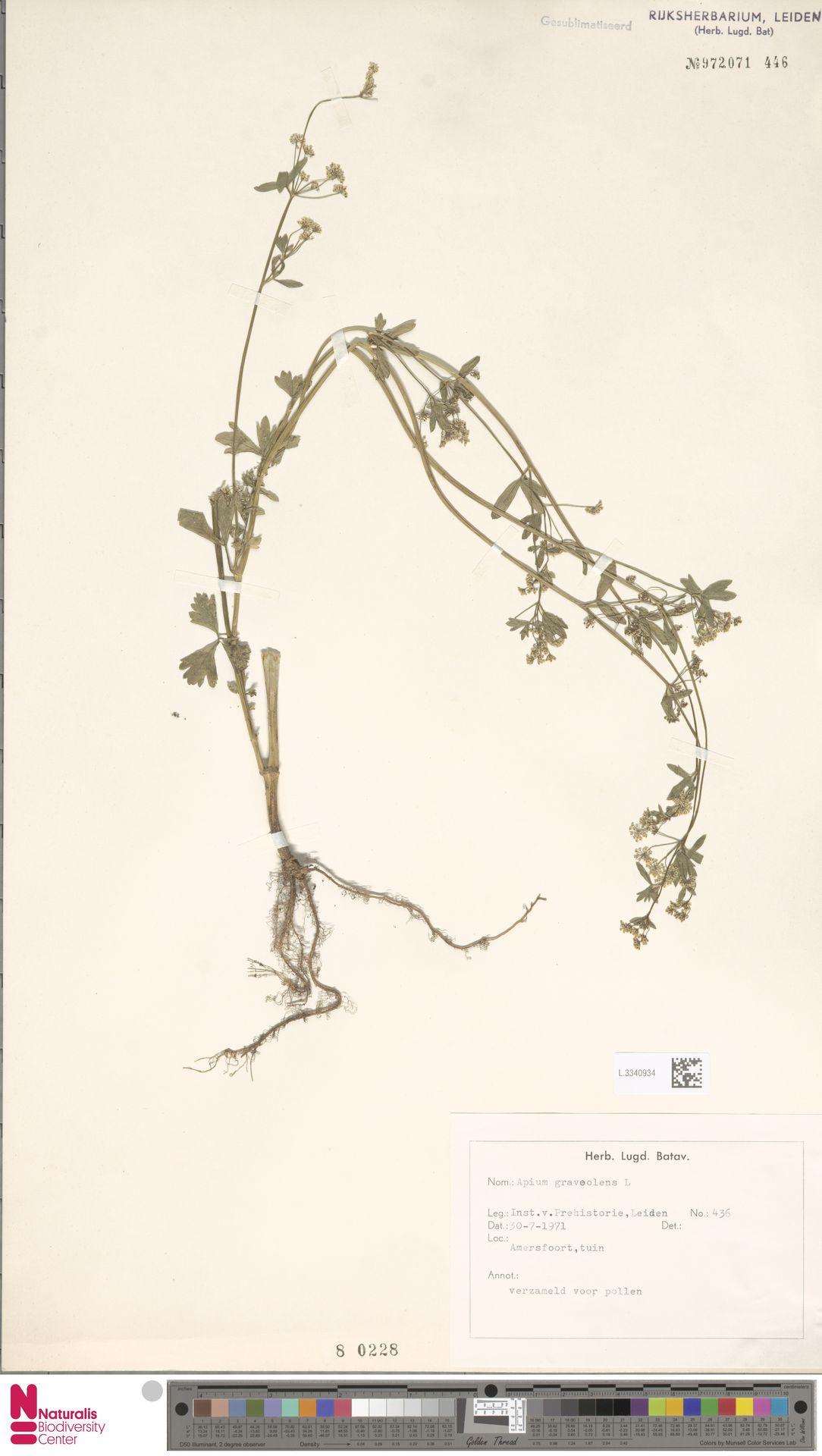 L.3340934 | Apium graveolens L.