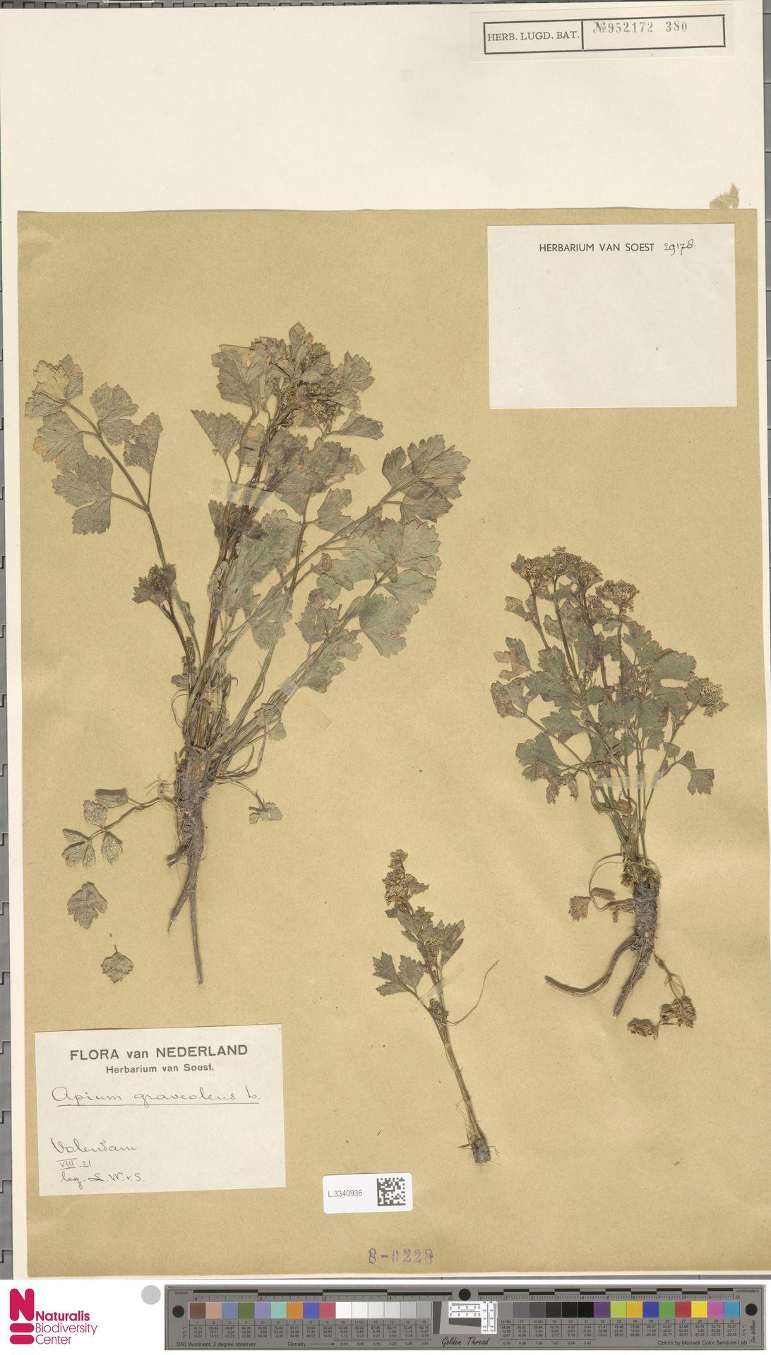 L.3340936 | Apium graveolens L.