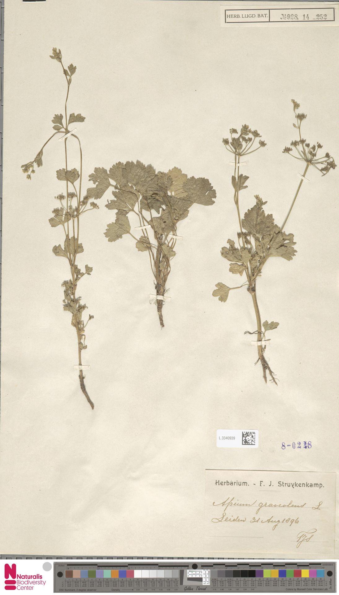 L.3340939 | Apium graveolens L.