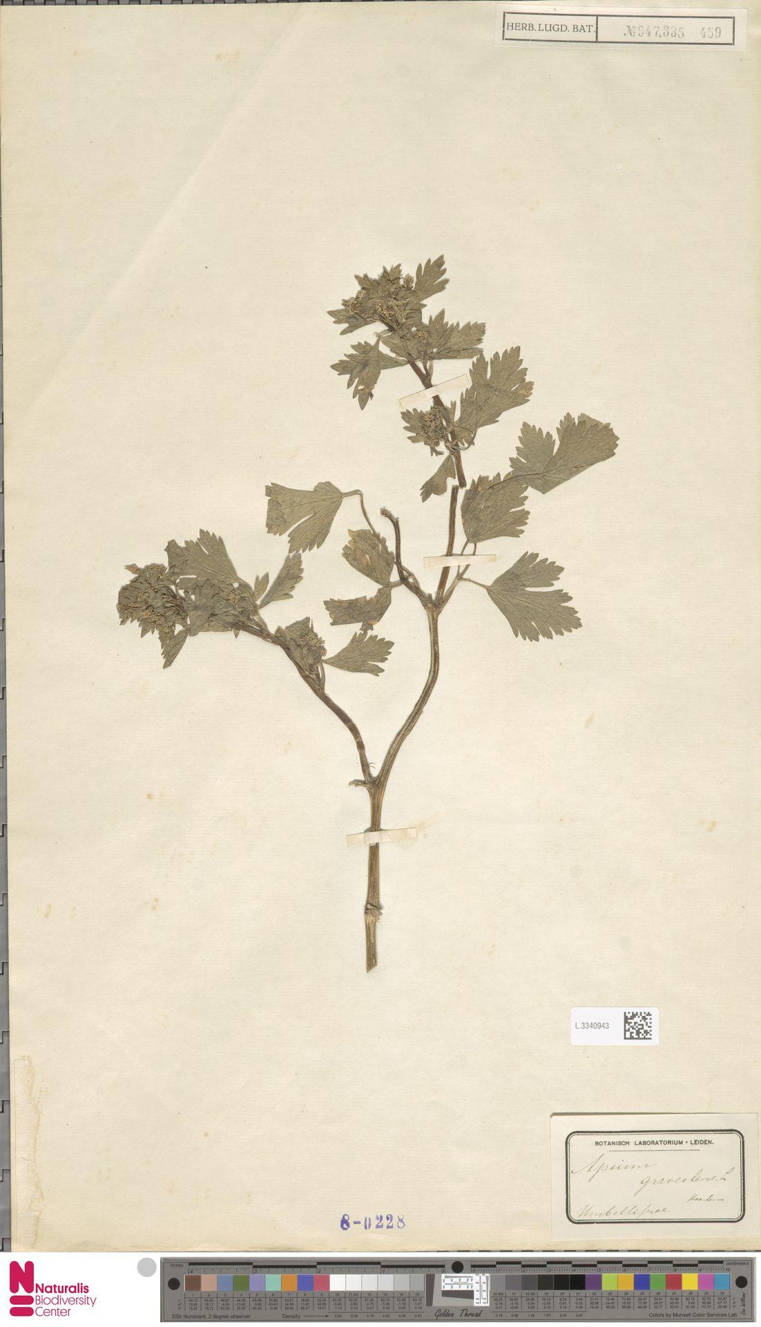 L.3340943 | Apium graveolens L.