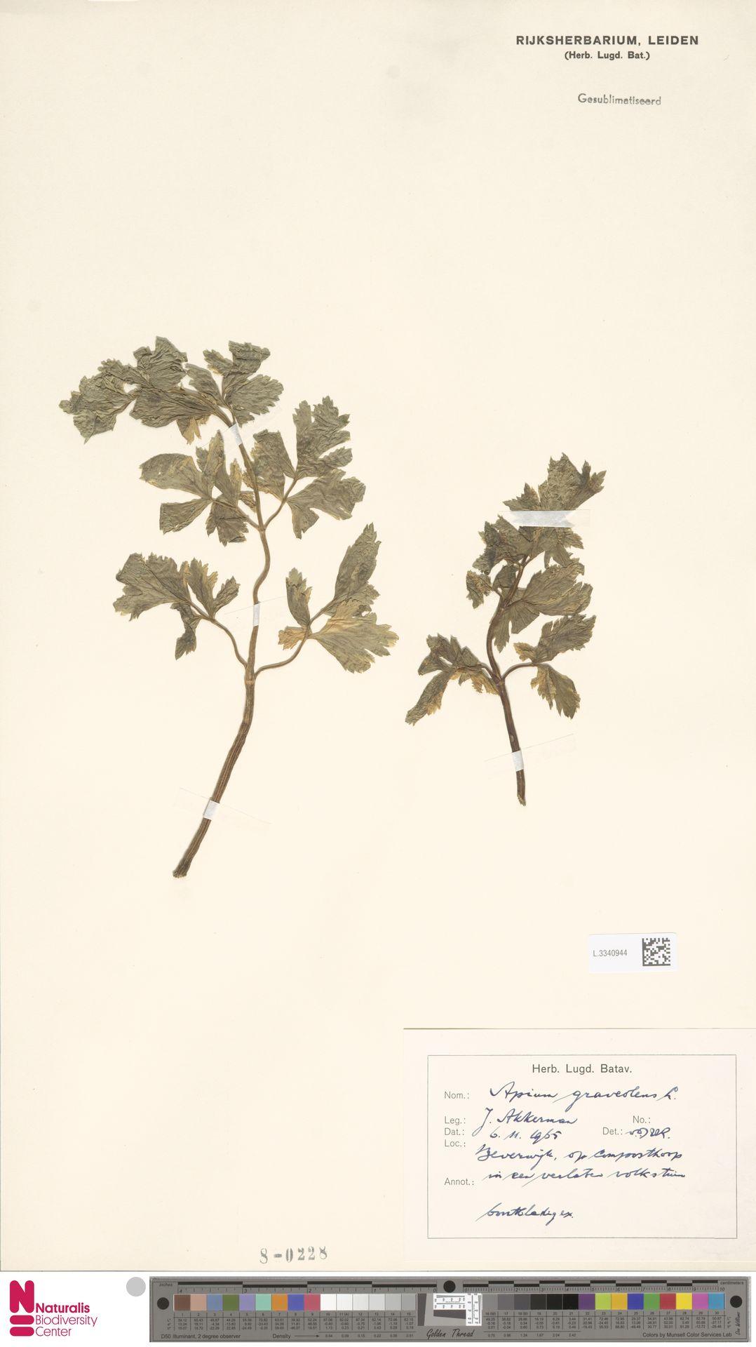 L.3340944 | Apium graveolens L.