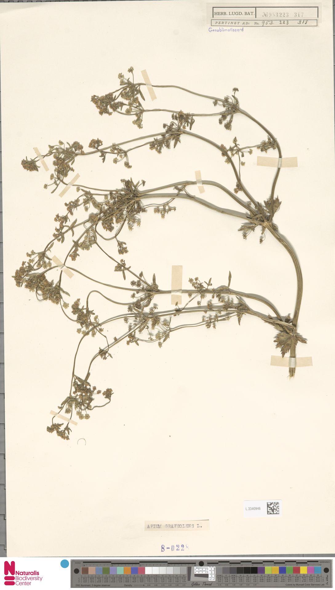 L.3340946 | Apium graveolens L.