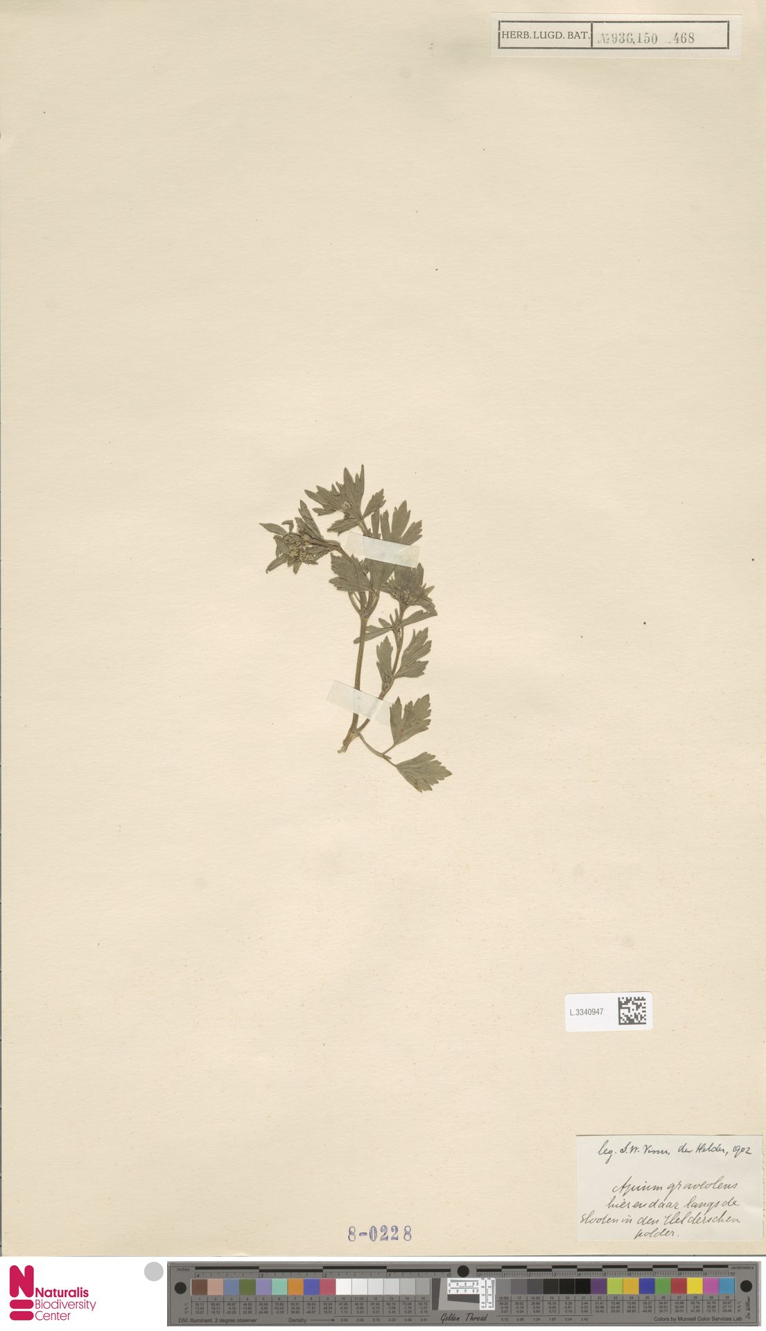 L.3340947   Apium graveolens L.