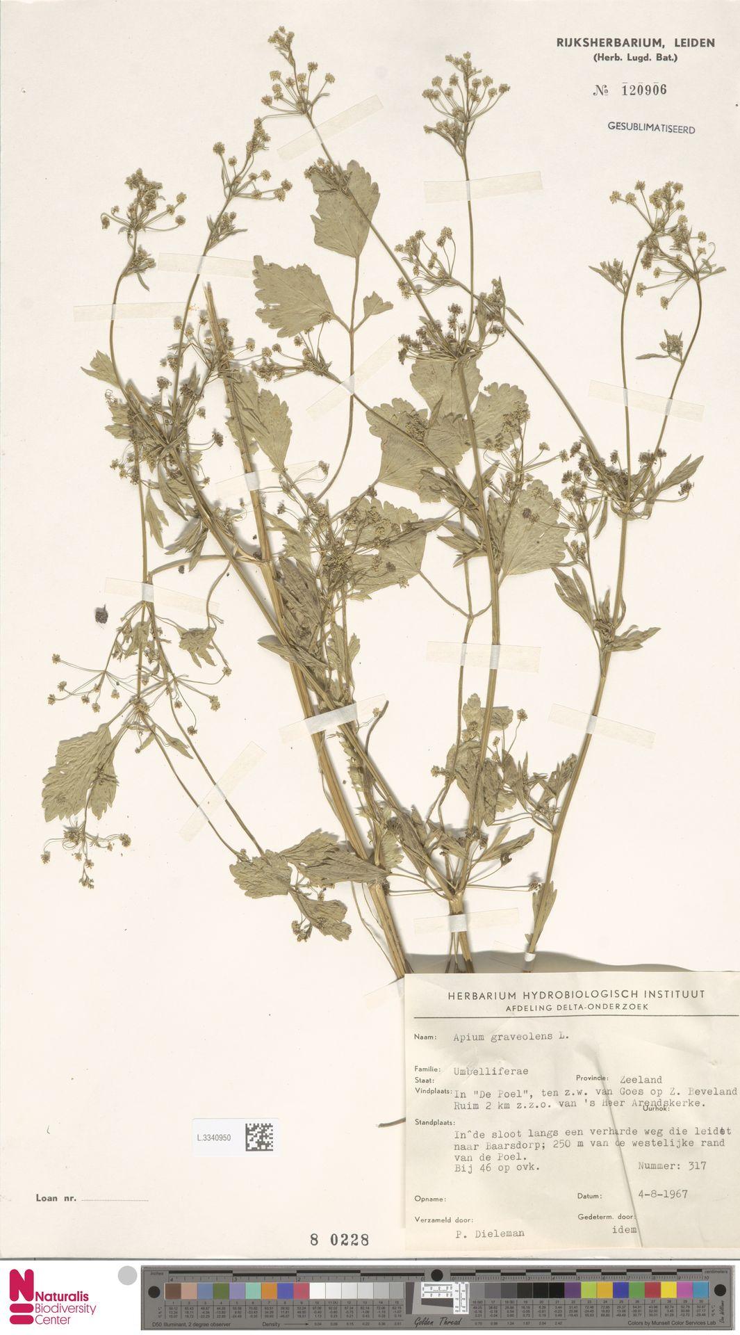 L.3340950 | Apium graveolens L.