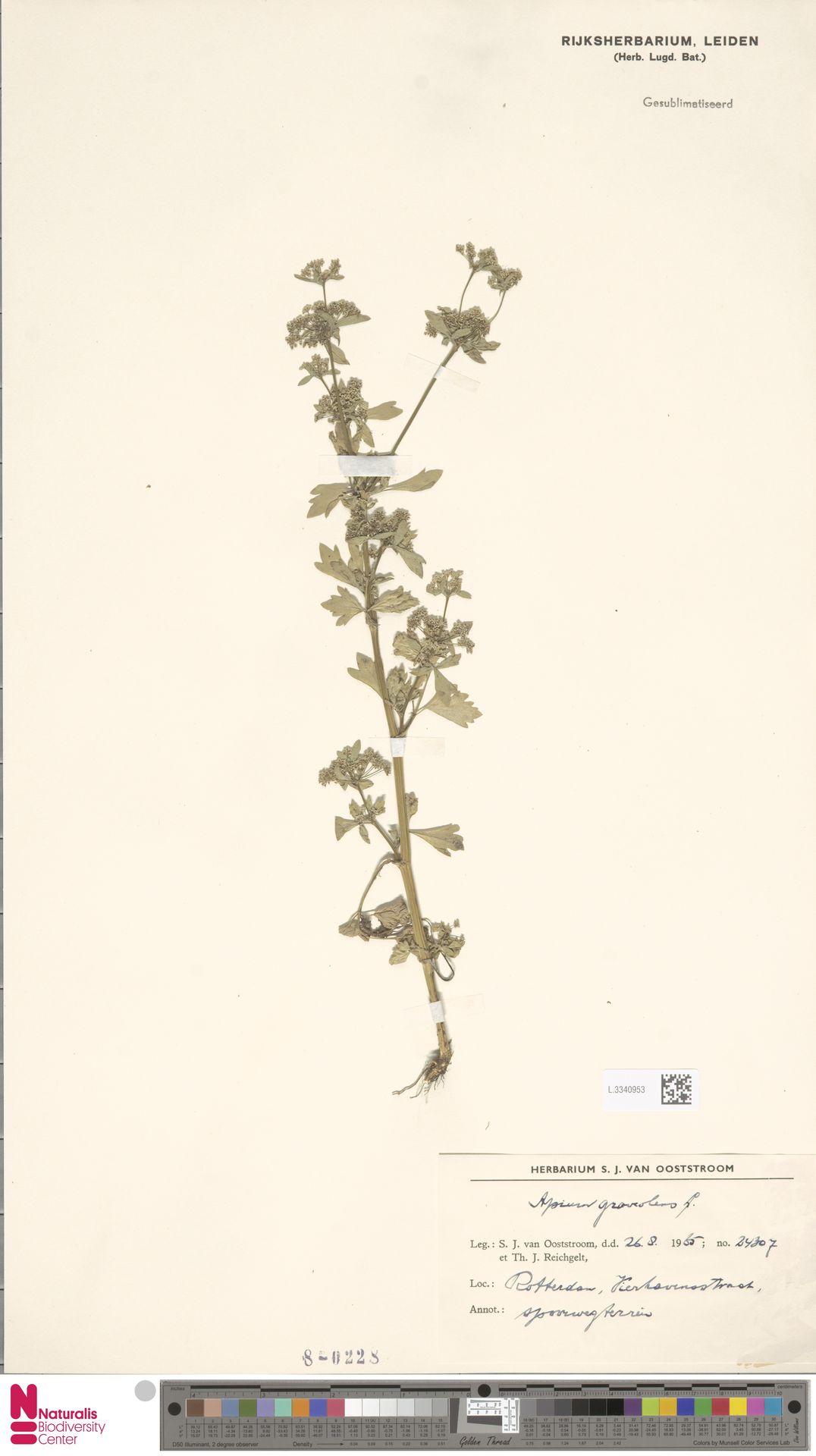 L.3340953 | Apium graveolens L.