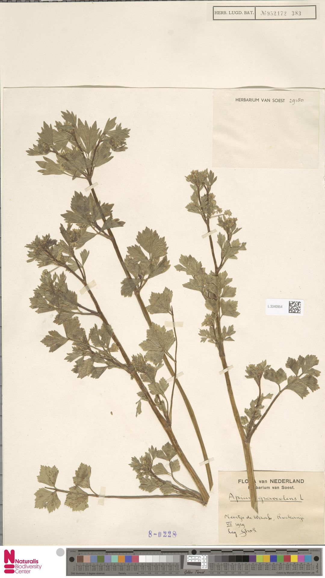 L.3340954 | Apium graveolens L.