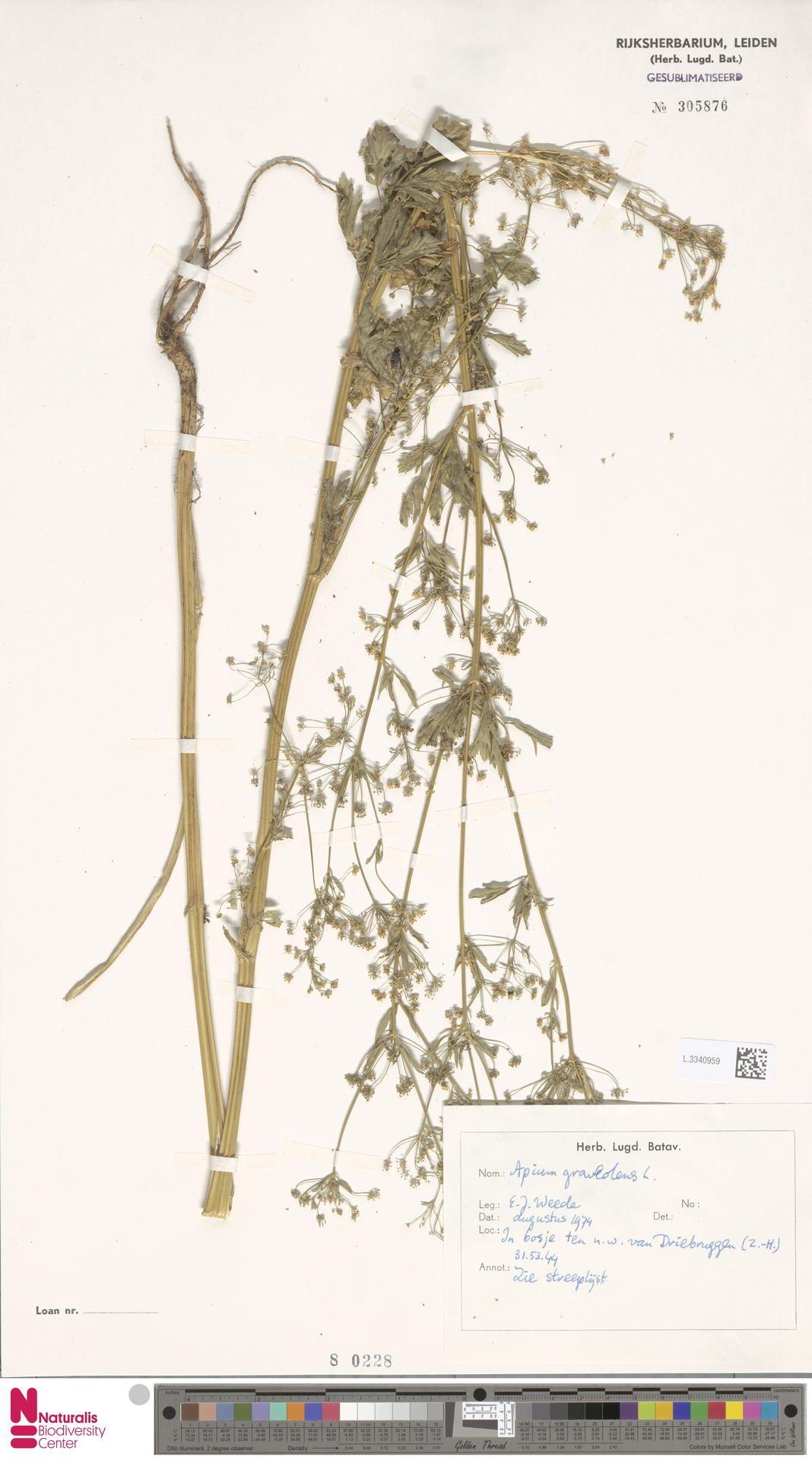 L.3340959 | Apium graveolens L.