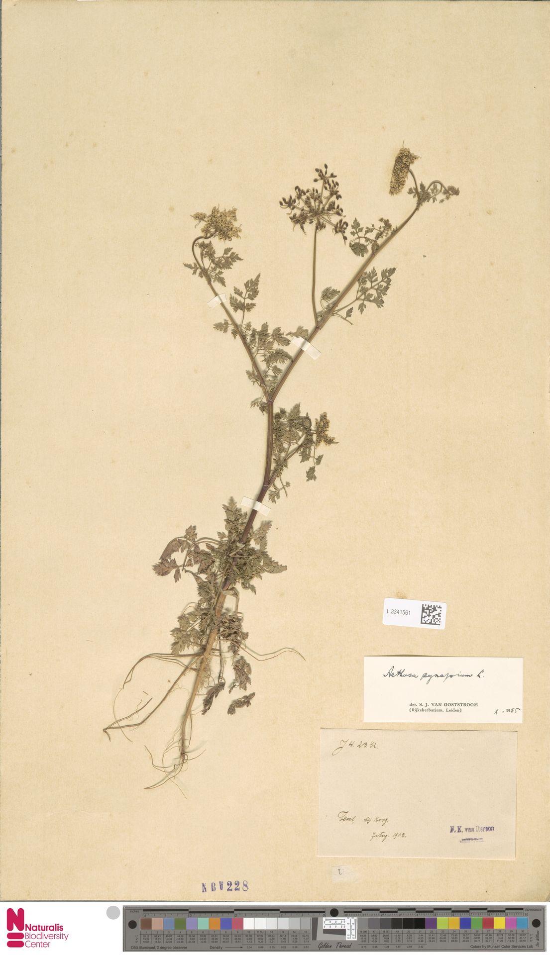 L.3341561 | Aethusa cynapium L.