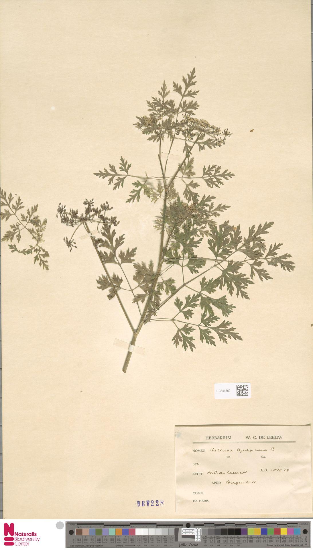 L.3341562 | Aethusa cynapium L.