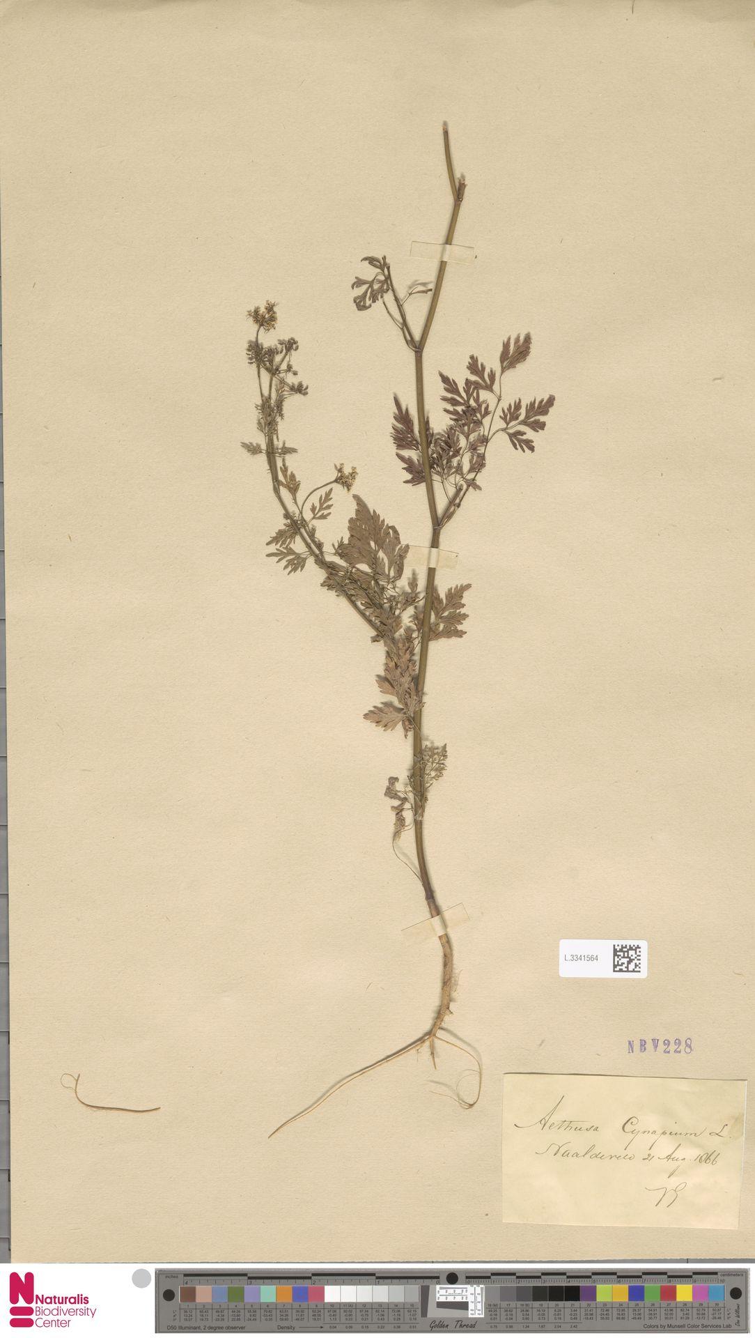 L.3341564   Aethusa cynapium L.
