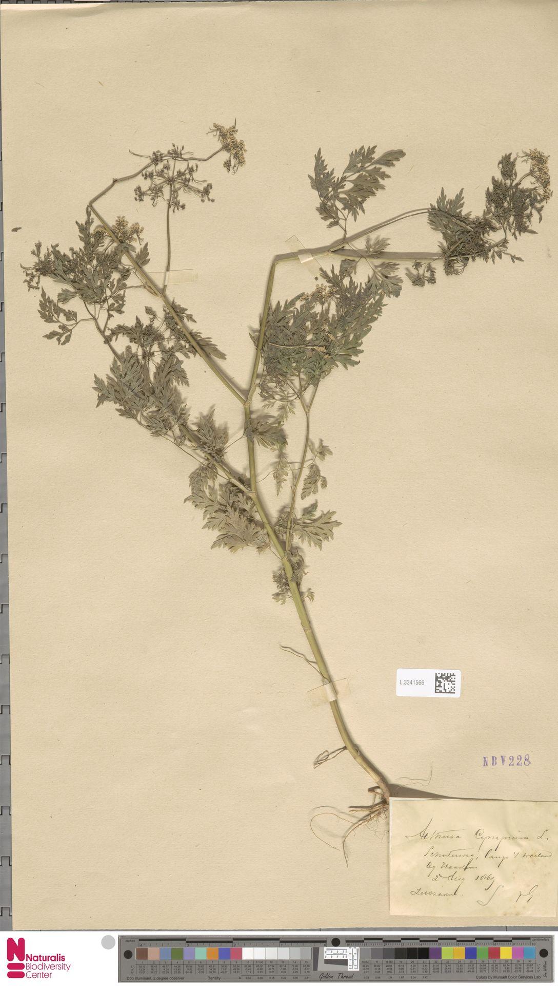 L.3341566 | Aethusa cynapium L.