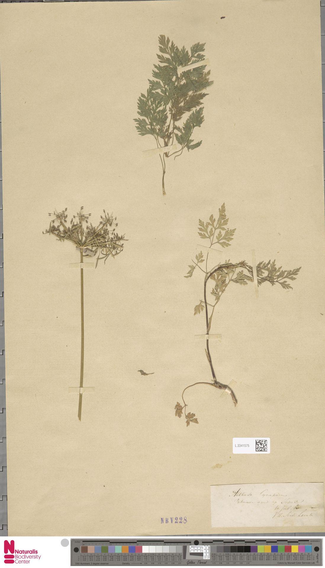 L.3341575 | Aethusa cynapium L.