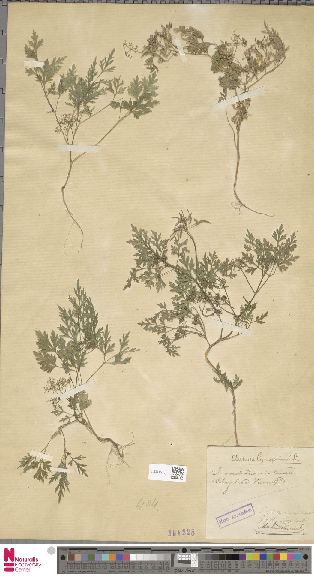 L.3341576 | Aethusa cynapium L.