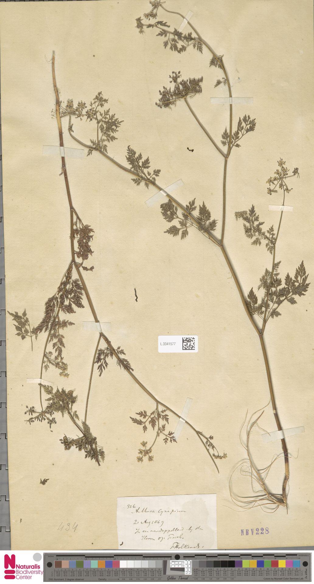 L.3341577 | Aethusa cynapium L.
